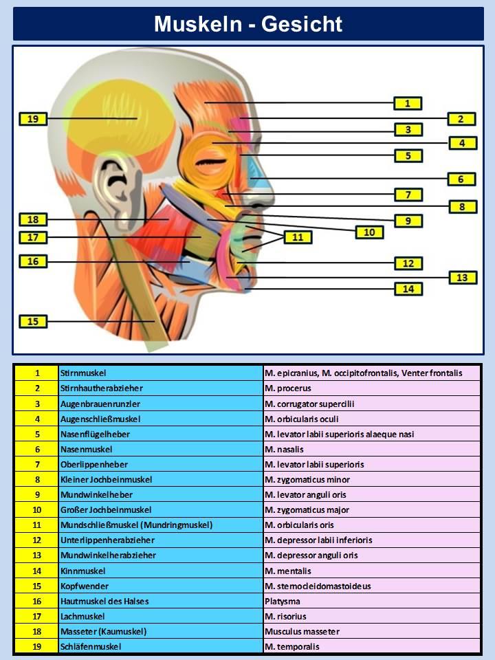 FACS Muscles Human Face
